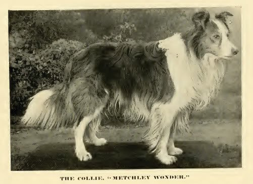 1890roughcollie
